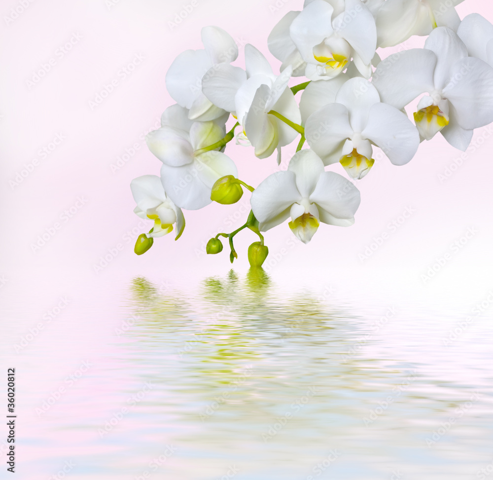 Fototapety, obrazy: Beautiful white orchid