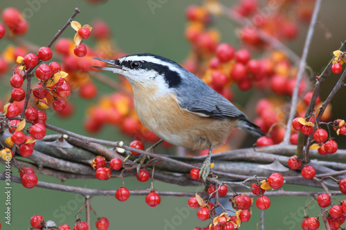 Red-breasted Nuthatch On Bittersweet Wallpaper Mural