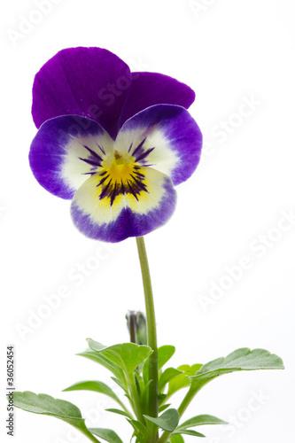Hornveilchen (Viola cornuta, Stiefmütterchen), freigestellt