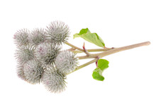 Cluster Of Greater Burdock Iso...