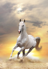Fototapeta Zwierzęta white horse in sunset