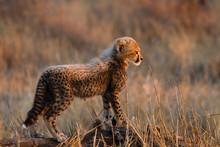 Young Cheetah Cub