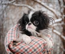 Portrait Of Japanese Chin Puppy