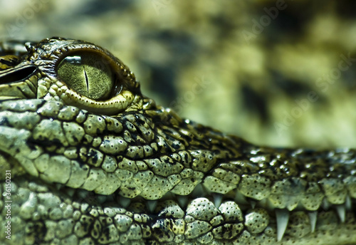 Canvas Prints Crocodile Krokodil