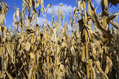 Into the field of cornstalks Canvas-taulu