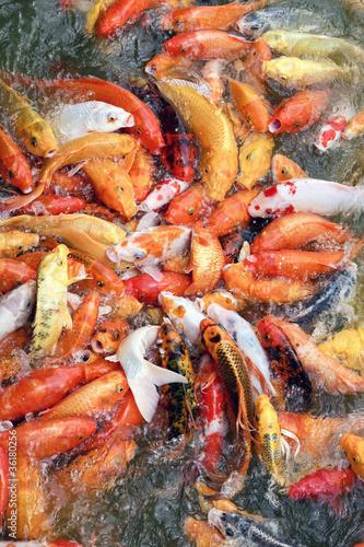 Fotobehang Schaaldieren koi fish