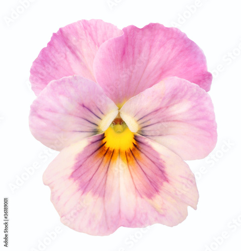 Papiers peints Pansies heartsease on white background