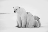 Polar she-bear with cubs. - 36202686