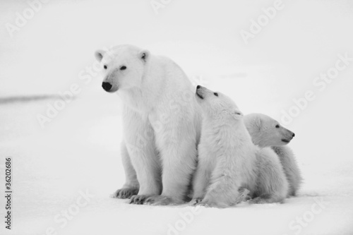 Staande foto Ijsbeer Polar she-bear with cubs.