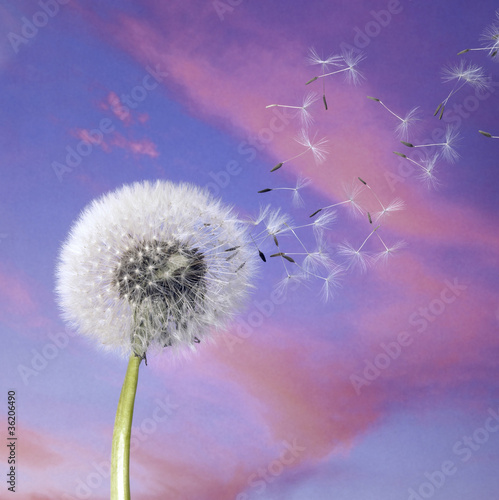 dandelion blowballin purple evening sky