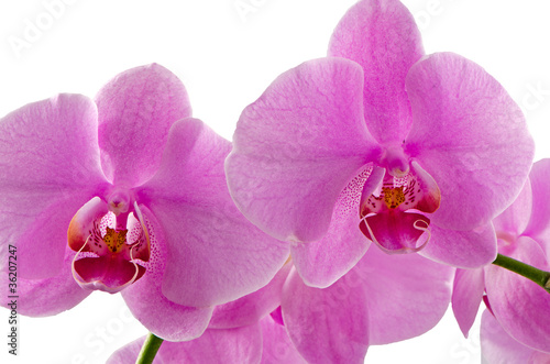 rozowe-orchidee