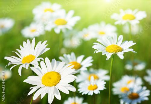 Foto op Canvas Madeliefjes field of daisy flowers