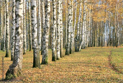 Deurstickers Berkbosje Pathway in an autumn birch grove