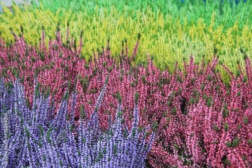 Obrazy lawenda kolorowe-wrzosy-calluna