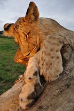 Sleeping Lion On Tree Trunk In Sunset