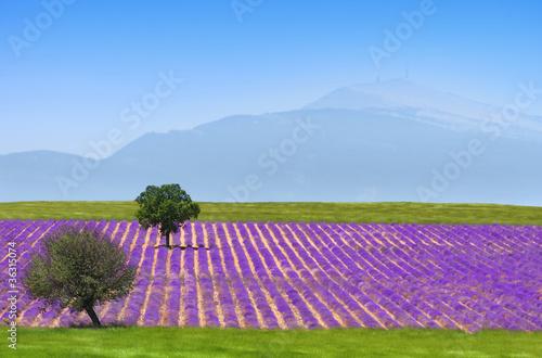 Photo Stands Lavender lavande au pied du ventoux