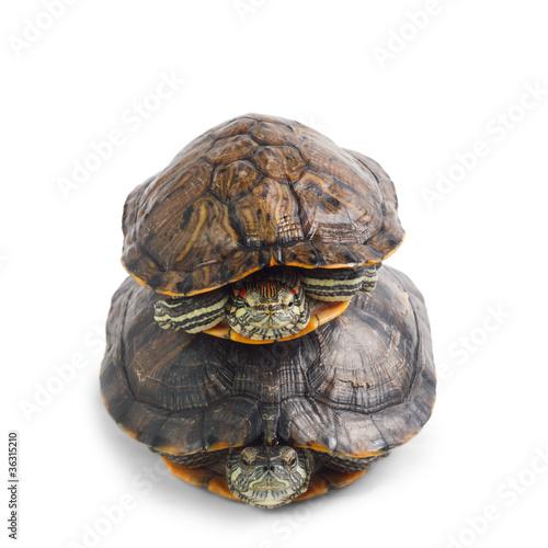 Fotografie, Obraz  Dvě želvy na bílém pozadí