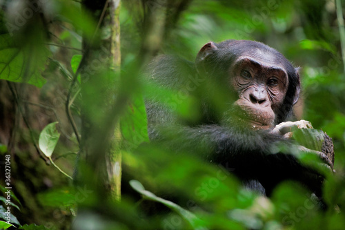 Wild Chimpanzee   portrait Wallpaper Mural