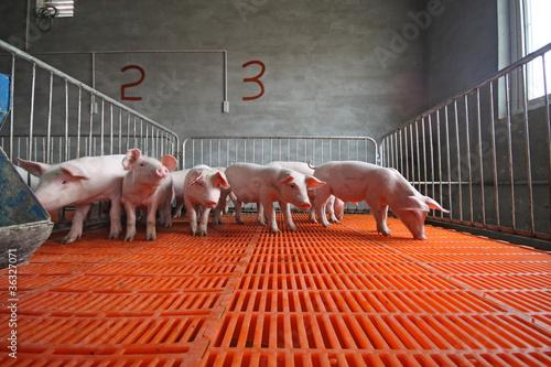 Fototapeta piglets in the enclosure