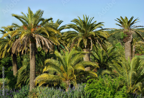 Pinturas sobre lienzo  Canary landscape with palm trees in a botanical garden of Barce