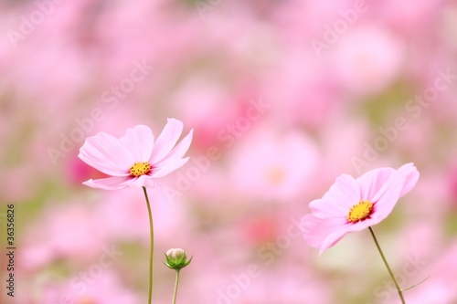 Fotografie, Obraz  ピンクのコスモス