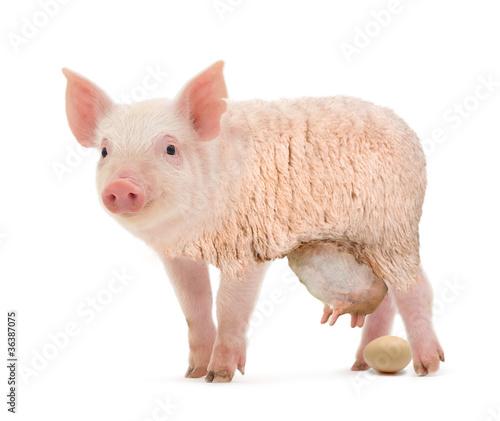Fotobehang Schapen Eierlegende Wollmilchsau
