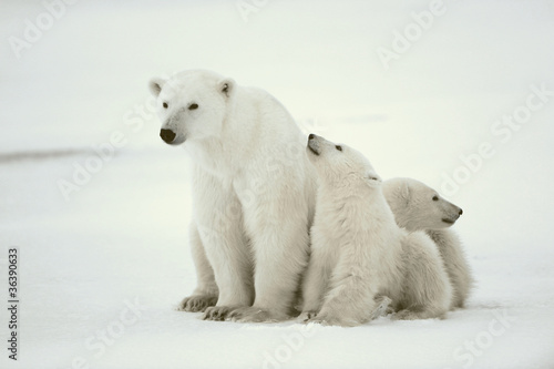 Photo sur Aluminium Ours Blanc Polar she-bear with cubs.