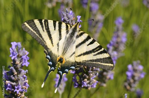 Fotografie, Obraz  Scarce Swallowtail butterfly on lavender