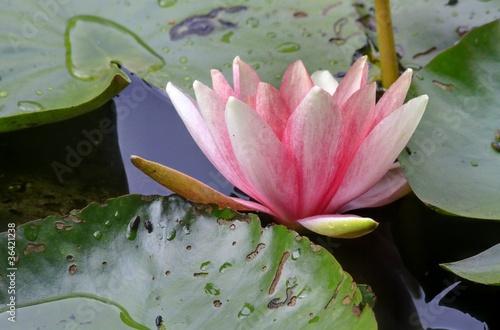 Garden Poster Lotus flower nymphea