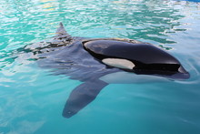 Killer Whale In A Pool