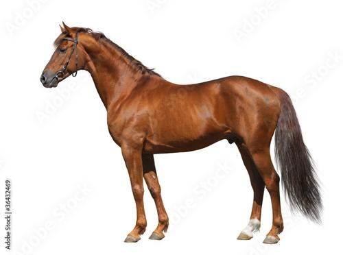Sorrel Don stallion