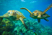 アオウミガメ 2匹