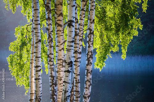 Deurstickers Berkbosje Birch tree and leaves in spring colors