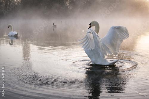 Poster Cygne Swan Stretching