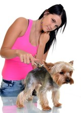 Yorkshire Terrier Getting His ...