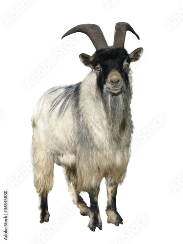 Photo  goat. Isolated over white