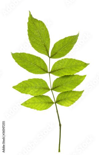 Fotografie, Obraz  Ash leaves on white background