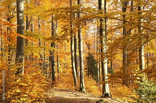 Fototapeta jesień bukowy-las-w-jesiennej-aurze