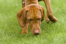 Vizsla Dog Sniffing The Grass