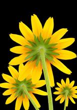 Yellow Coneflowers On Black Ba...