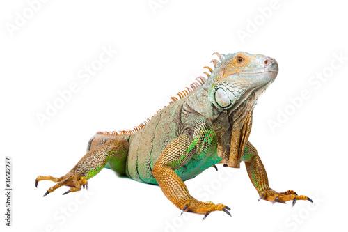 iguana on isolated white Canvas Print