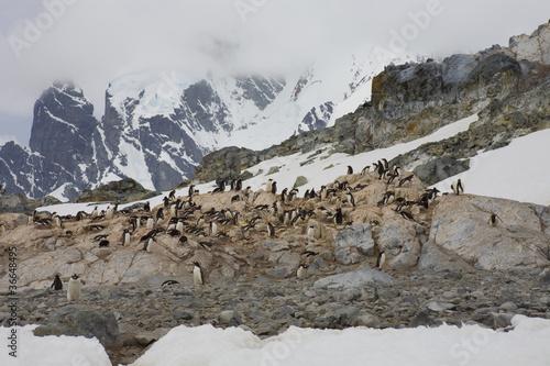 Gentoo penguins,Antarctica