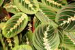 Maranta leuconeura var.erythroneura