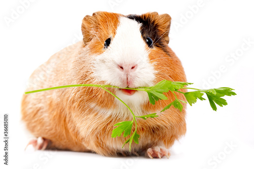 Fotografía  Lunch time. Funny guinea pig portrait over white background