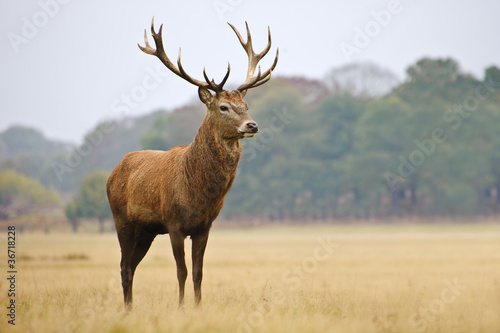 Poster Hert Portrait of majestic red deer stag in Autumn Fall
