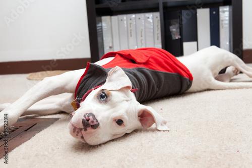Fotografia, Obraz  Cute pitbull