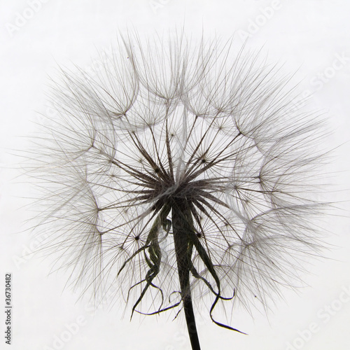 Closeup of salsify seed head on white (not a dandelion)