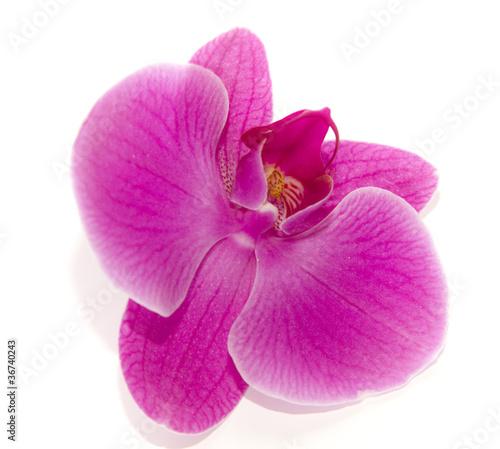 storczyk kwiat - 36740243
