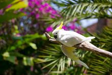 Speaking White Cockatoo