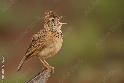 Rufous-naped lark Canvas-taulu